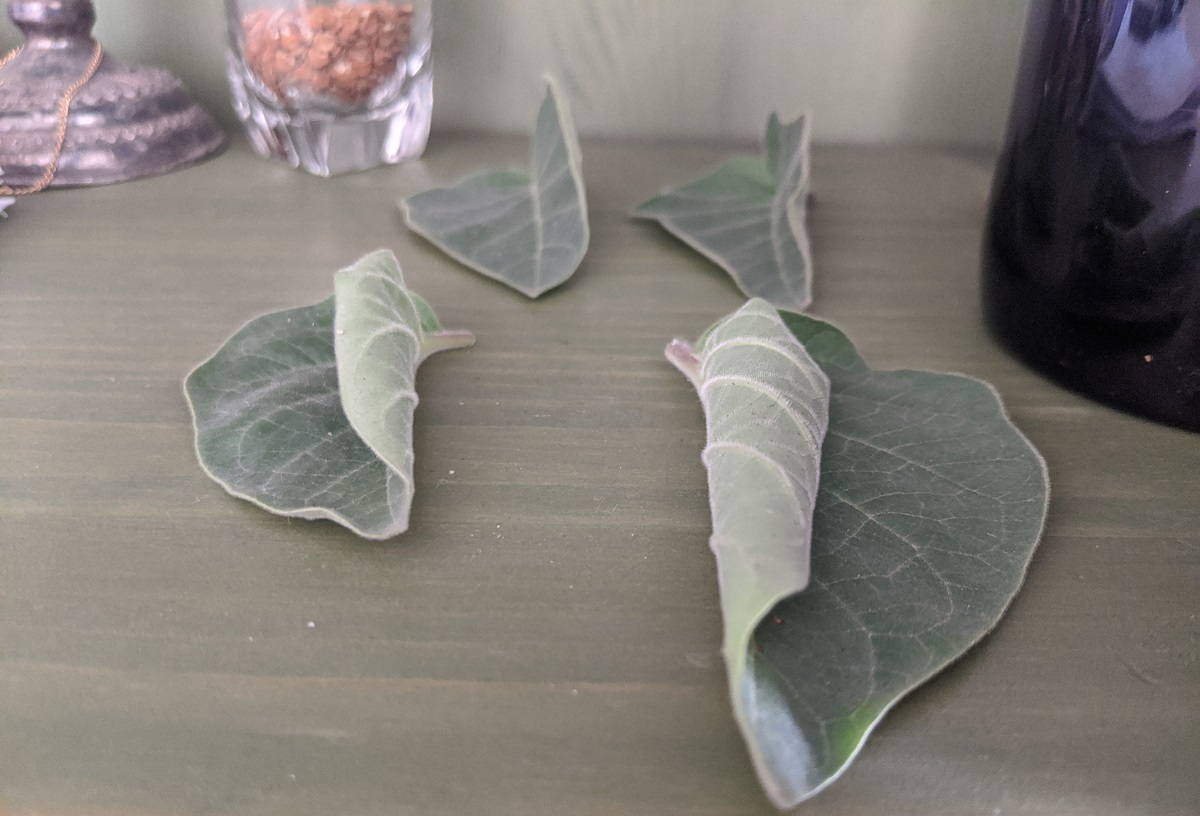 Datura leaves