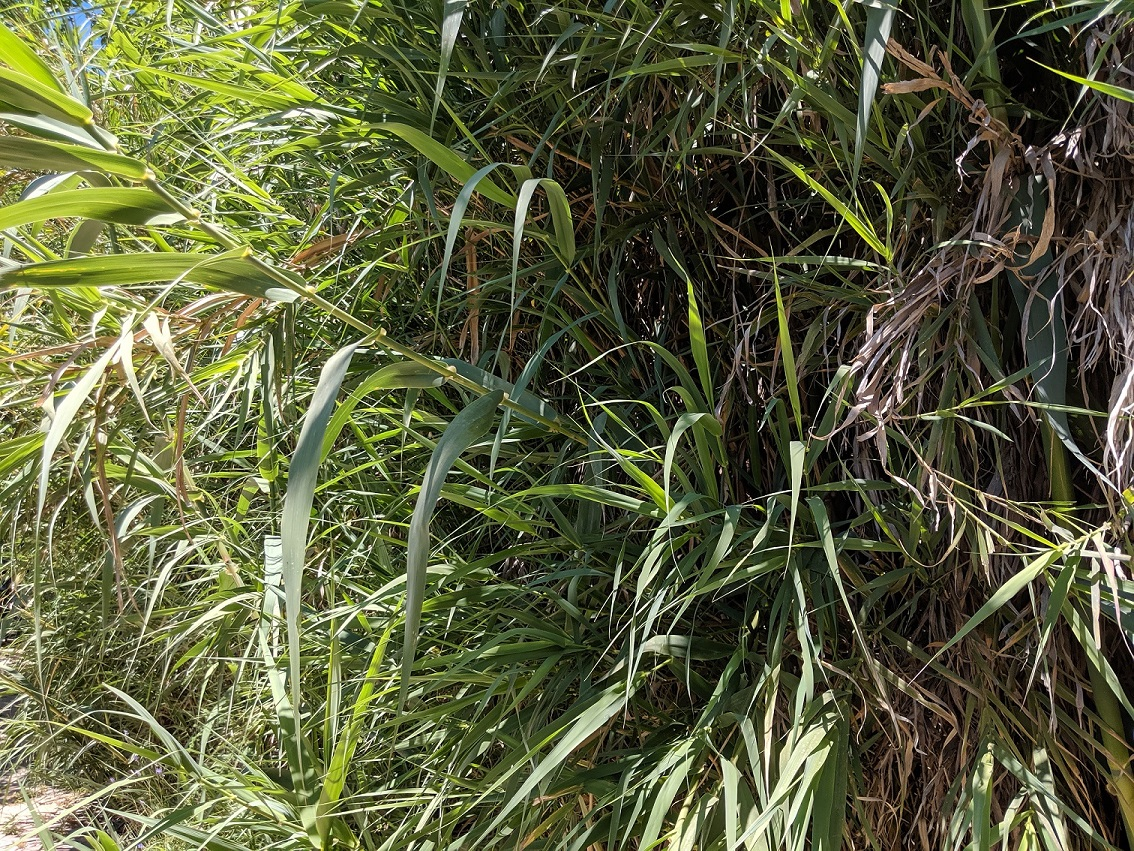 New Common Reed Shoots
